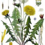 Papadia – o planta minunata
