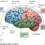 Dieta pentru un creier sanatos