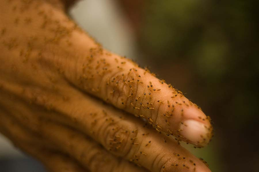 termite-rosii