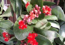 Kalanchoe-cactus