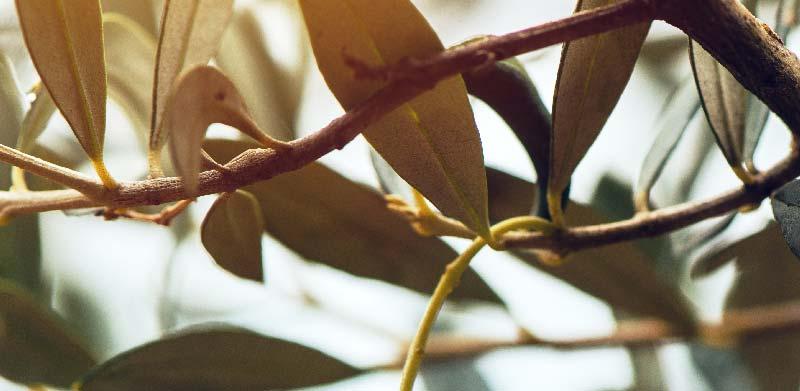 frunze-de-maslin